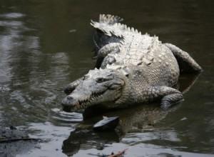 Crocodylus acutus, druh nedávno téměř vyhynulý. Uchytil se však tam, kde by to člověk čekal nejméně - v rezervoárech vody na chlazení reaktorů floridské jaderné elektrárny.