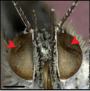 Oči motýla, zdeformované fukušimskou mutací. Zdroj: blogs.discovermagazine.com