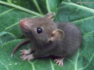 Příbuzný tohoto hlodavce možná způsobil celosvětový jaderný poplach. Pokud byste měli zájem vidět fotografii nebohé fukušimské krysy, snadno je najdete přes vyhledávač. Zdroj: http://narragansettpestcontrol.com/pest-information/rat/