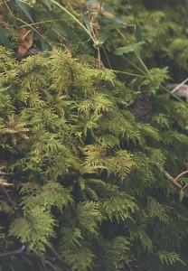 Obrázek 2: Běžně rostoucí mech Hylocomium splendens, který je využíván pro monitorování životního prostředí.